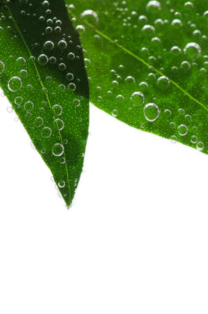 submerged: Green leaves of a plant submerged in water with air bubbles