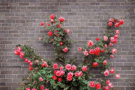 집안의 벽돌 벽에 빨간 장미를 등반
