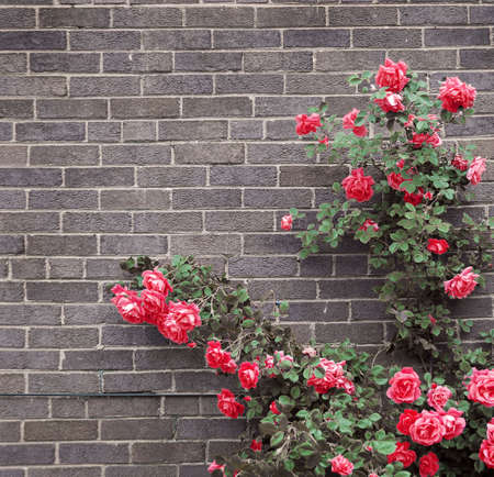 Climbing red roses on a brick wall of a house