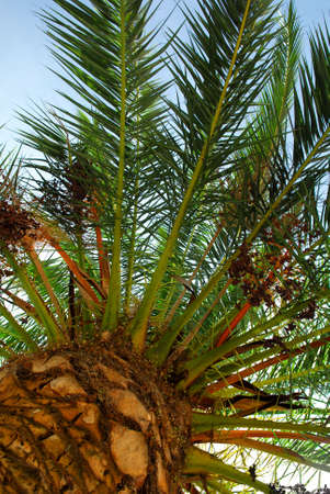 Canopy of a young date palm tree Stock Photo - 2691176