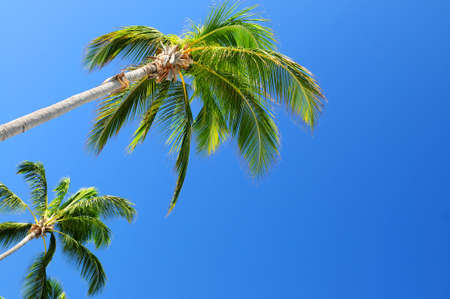 Background of bright blue sky with palm tree tops photo