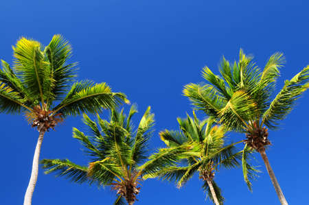 Background of bright blue sky with sunny palm tree tops photo