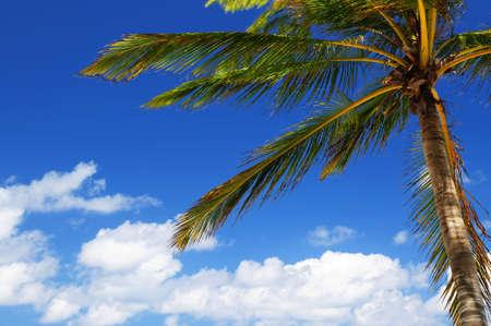 Palm tree canopy on blue sky background photo