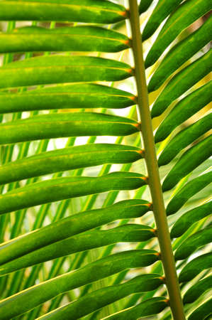Closeup of a sunlit green palm tree leaf Stock Photo - 2853197
