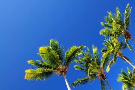 Lush green palm trees on blue sky background photo
