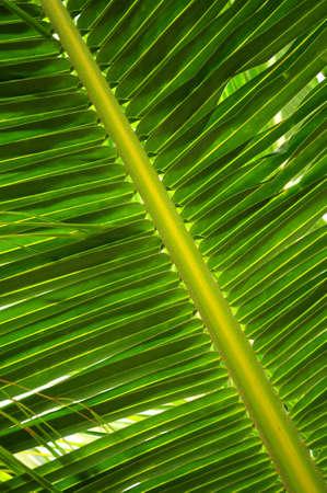 Closeup of a green palm tree leaf Stock Photo - 2871137