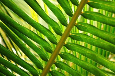 Closeup of a sunlit green palm tree leaf Stock Photo - 2871135