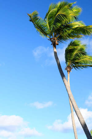 Tropical background of palms on blue sky photo