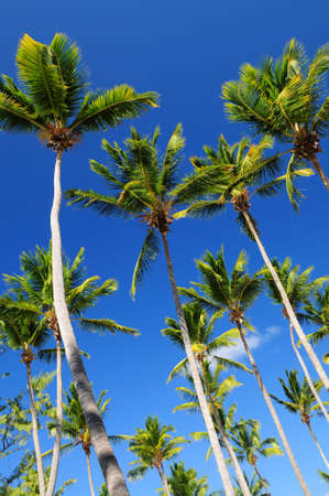 Lush green palm trees on blue sky background Stock Photo - 2871141