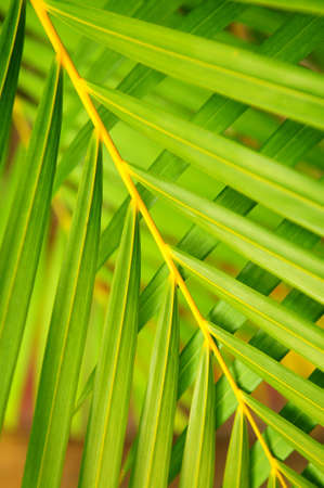 Botanical background of green palm tree leaves close up photo