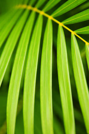 Botanical background of green palm tree leaves close up Stock Photo - 2923881