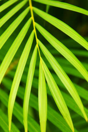 Botanical background of green palm tree leaves close up Stock Photo - 2923883