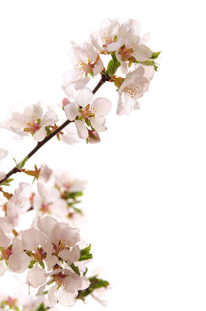 apple blossom: Branch with pink cherry blossoms isolated on white background Stock Photo