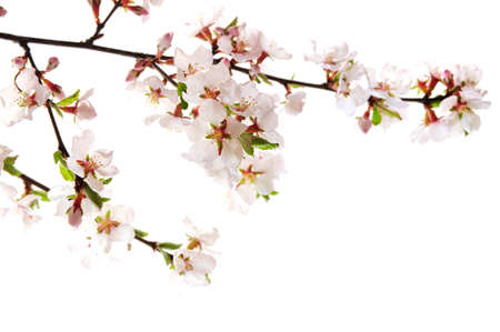 Branch with pink cherry blossoms isolated on white background Stock Photo