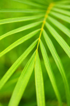 Botanical background of green palm tree leaves close up Stock Photo - 2956503