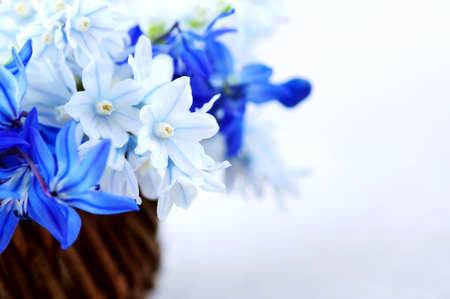 Blue bouquet of first spring flowers in a basket - floral background photo
