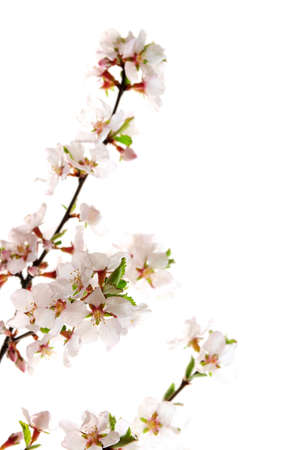 botanical branch: Branch with pink cherry blossoms isolated on white background Stock Photo