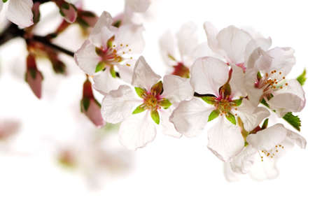 Macro of pink cherry blossoms isolated on white background photo