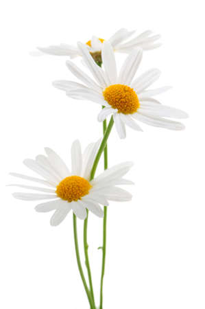 Daisy flowers isolated on white background photo