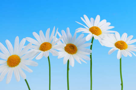 detail of bunch: Daisy flowers in a row on light blue background