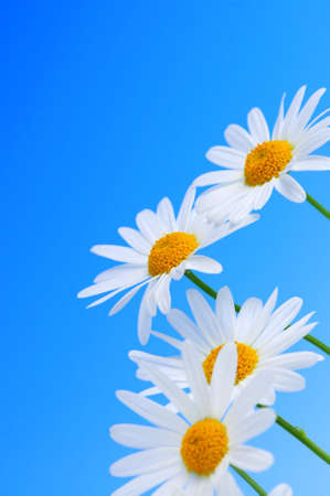Daisy flowers in a row on light blue background Stock Photo - 3069524