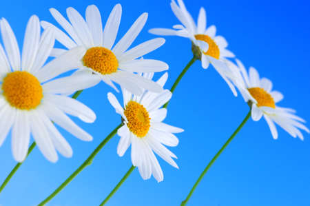 growing plant: Daisy flowers in a row on light blue background