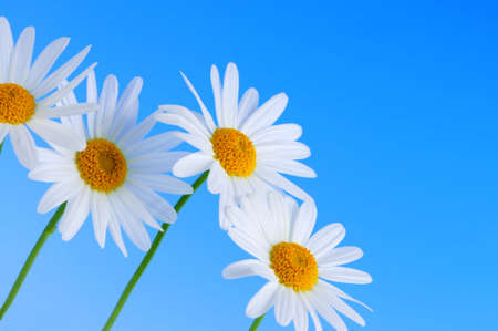 Daisy flowers in a row on light blue background photo