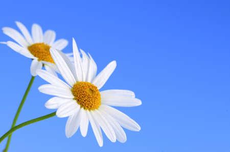 Daisy flowers macro on light blue background photo