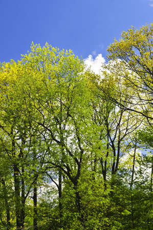 Spring forest with young foliage and blue sky