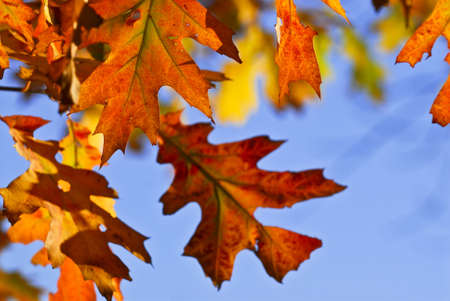 changing color: Autumn oak leaves of bright fall colors close up Stock Photo