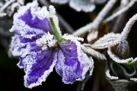 late fall: Macro of frosty flower in late fall