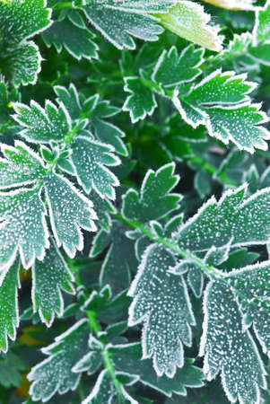 late fall: Macro of frosty plant leaves in late fall