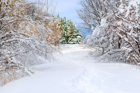 Path in winter forest after a snowfall photo