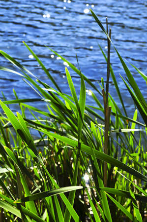 Natural background of green reeds at water edge photo