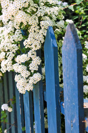 Blue picket fence with flowering bridal wreath shrub photo