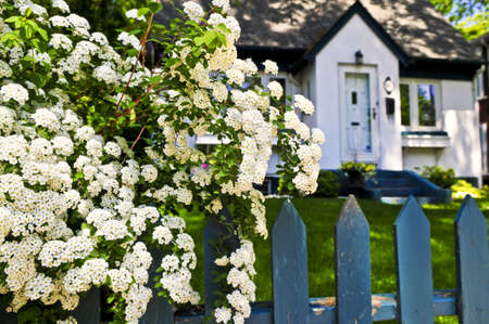 Blue picket fence with flowering bridal wreath shrub and residential house photo