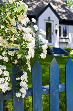 suburbs: Blue picket fence with flowering bridal wreath shrub and residential house Stock Photo
