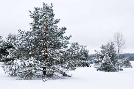 Winter landscape with snow covered trees and gray sky Stock Photo - 3436383