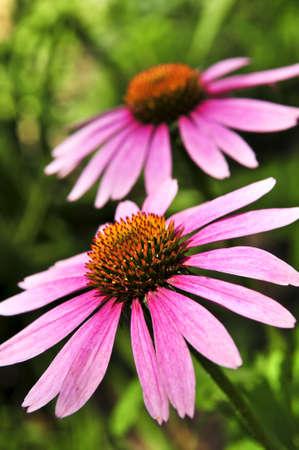 botanical remedy: Blooming medicinal herb echinacea purpurea or coneflower
