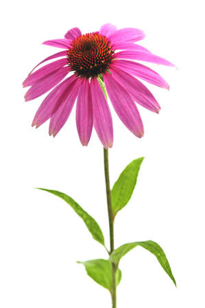 coneflower: Blooming medicinal herb echinacea purpurea or coneflower isolated on white background Stock Photo