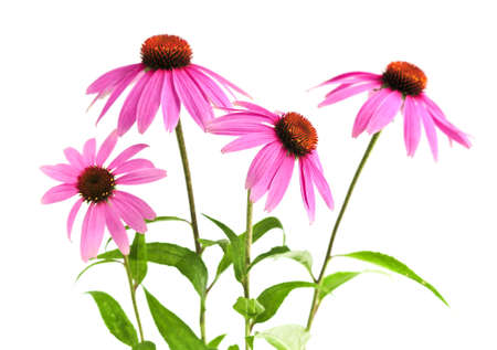 Blooming medicinal herb echinacea purpurea or coneflower isolated on white background photo