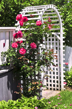 arbor: White arbor with red blooming roses in a garden