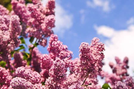 Abundant flowers of purple lilac blooming in late spring Stock Photo - 3485076