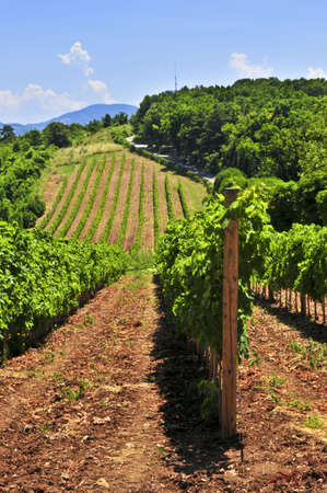 serbia: Summer landscape with vineyard in rural Serbia