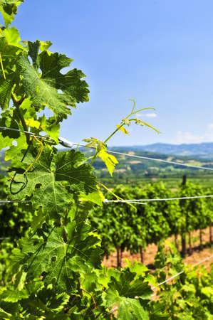 serbia landscape: Summer landscape with vineyard in rural Serbia