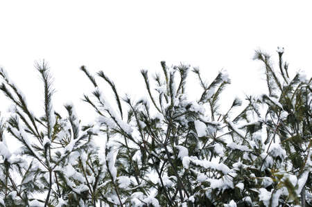 Winter tree branches covered with fluffy snow photo