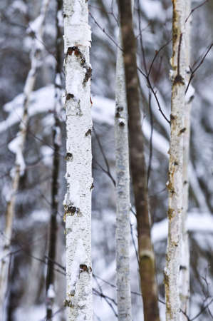 Natural background of tree trunks in winter Stock Photo - 3483609