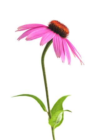 echinacea purpurea: Blooming medicinal herb echinacea purpurea or coneflower isolated on white background Stock Photo