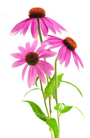 Florecimiento de hierbas medicinales equinacea purpurea o coneflower aisladas sobre fondo blanco Foto de archivo