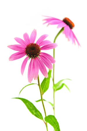 Blooming medicinal herb echinacea purpurea or coneflower isolated on white background Stock Photo